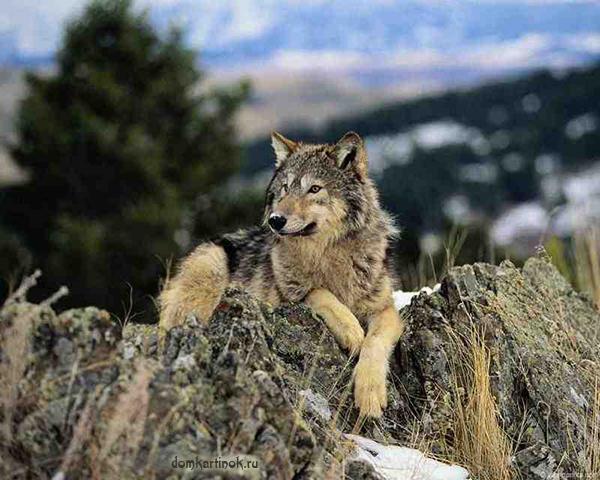 Волчица фото на аватарку